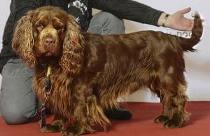 Beautiful champion Sussex Spaniel posing after the showPhoto by: Svenska Mässan//creativecommons.org/licenses/by/2.0/