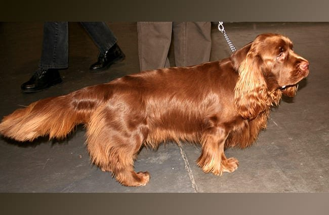 Lovely Sussex Spaniel pet Photo by: Pleple2000 GFDL http://www.gnu.org/copyleft/fdl.html