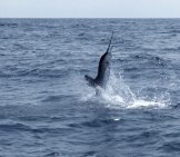 Swordfish Breaching Photo By: (C) Tonobalaguer Www.fotosearch.com