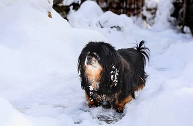 Adult Tibetan Spaniel playing in the snow