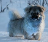 Tibetan Spaniel Puppy Playing In The Snow