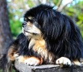 Black And Tan Tibetan Spaniel Relaxing In The Afternoon Sun