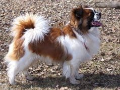 Young parti-color Tibetan Spaniel