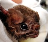 Hairy-Legged Vampire Bat Photo By: By Gerry Carter Cc By-Sa 4.0 //creativecommons.org/licenses/by-Sa/4.0