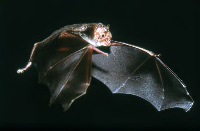 Common vampire bat in flight Photo by: Uwe Schmidt CC BY-SA 4.0 //creativecommons.org/licenses/by-sa/4.0
