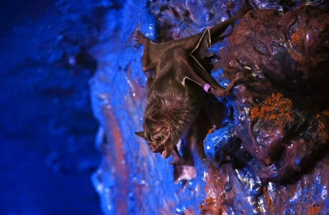 Common vampire bat in a zoo night room setting Photo by: (c) belizar www.fotosearch.com
