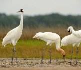 Whooping Crane Family On Wintering Grounds At The Aransas National Wildlife Refuge Photo By: Usfws //creativecommons.org/licenses/by/2.0/
