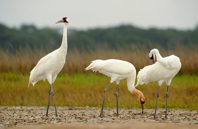 Whooping Crane family on wintering grounds at the Aransas National Wildlife Refuge Photo by: USFWS https://creativecommons.org/licenses/by/2.0/