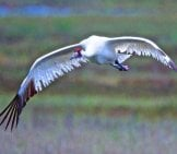 Whooping Crane Coming In For A Landing At The Lake Photo By: Brian Ralphs Https://Creativecommons.org/Licenses/By/2.0/