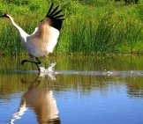 Whooping Crane Landing On The Water At The International Crane Foundation, Baraboo, Wi Photo By: Naturesfan Https://creativecommons.org/licenses/by/2.0/