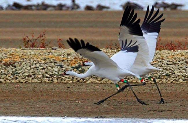 Whooping crane pair at Patokah River National Wildlife Refuge in Indiana on their migration south Photo by: Steve Gifford, USFWS Midwest Region https://creativecommons.org/licenses/by/2.0/