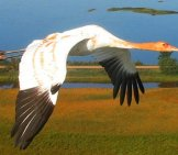 Whooping Crane In Flight At The Necedah National Wildlife Refugephoto By: Operation Migration, Usfwshttps://creativecommons.org/licenses/by/2.0/
