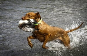 Wirehaired Vizsla coming out of the water with a duckPhoto by: (c) aneta77 www.fotosearch.com