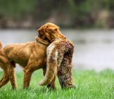 Wirehaired Vizsla With A Fox Photo By: (C) Aneta77 Www.fotosearch.com
