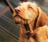 Wirehaired Vizsla Puppy Photo By: (C) Mikecharles Www.fotosearch.com