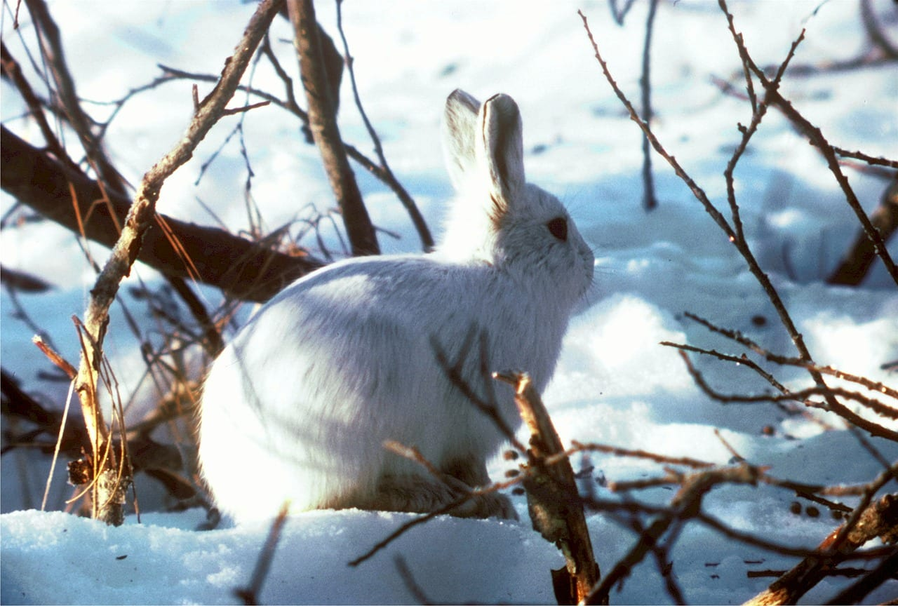 https://pixabay.com/en/arctic-hare-polar-rabbit-bunny-cute-520239/
