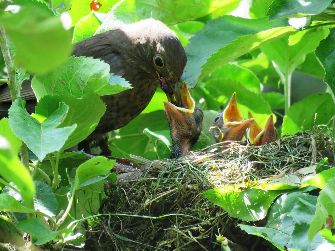 https://pixabay.com/en/blackbird-nest-young-birds-hungry-1507903/