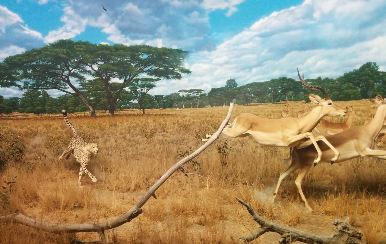 https://pixabay.com/en/cheetah-gazelle-hunting-running-1308943/