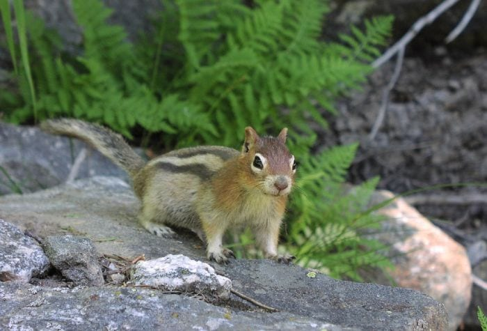 https://pixabay.com/en/golden-mantled-ground-squirrel-rodent-1238225/