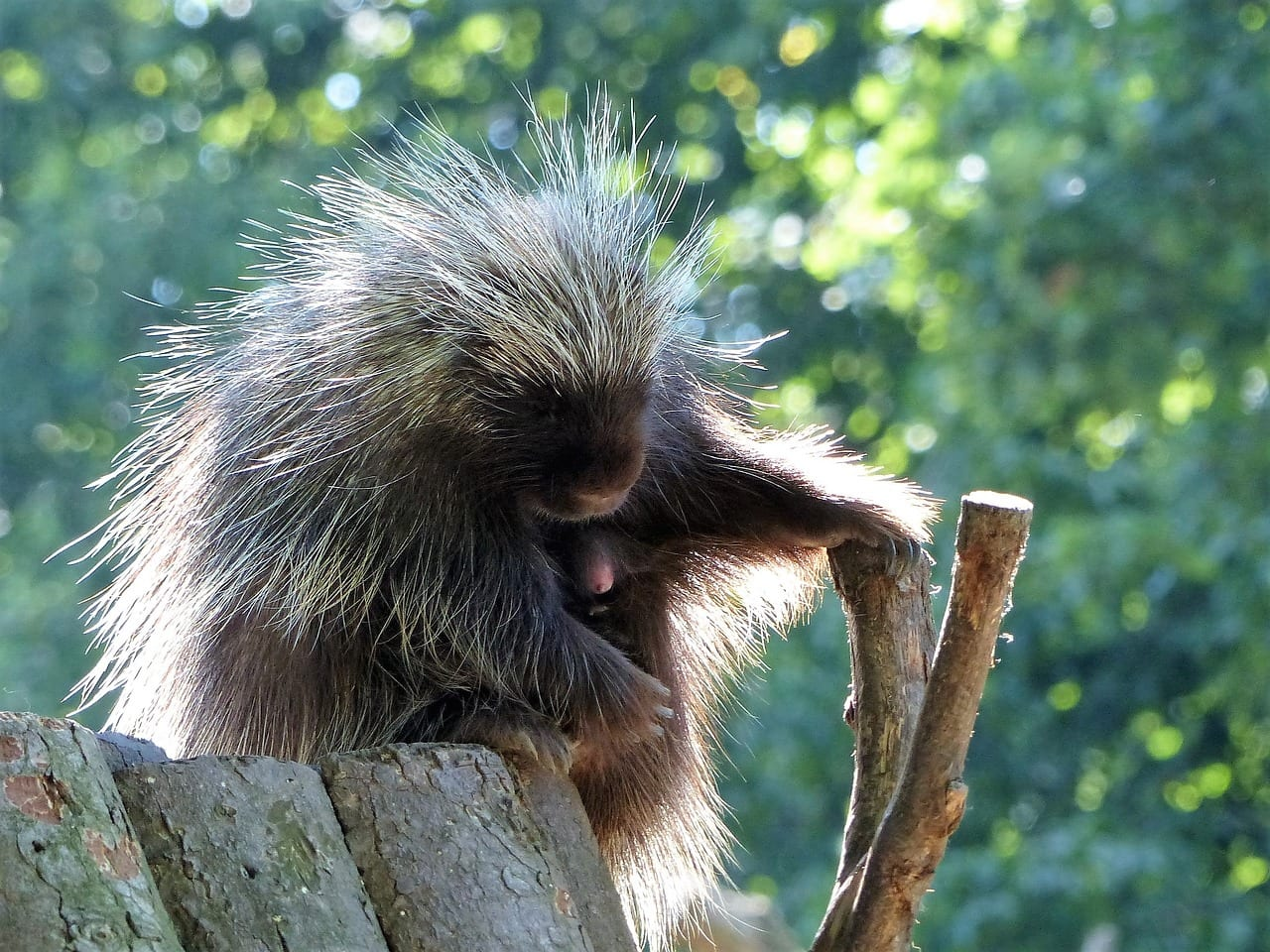 https://pixabay.com/en/porcupines-zoo-sleep-enjoy-relax-2439832/