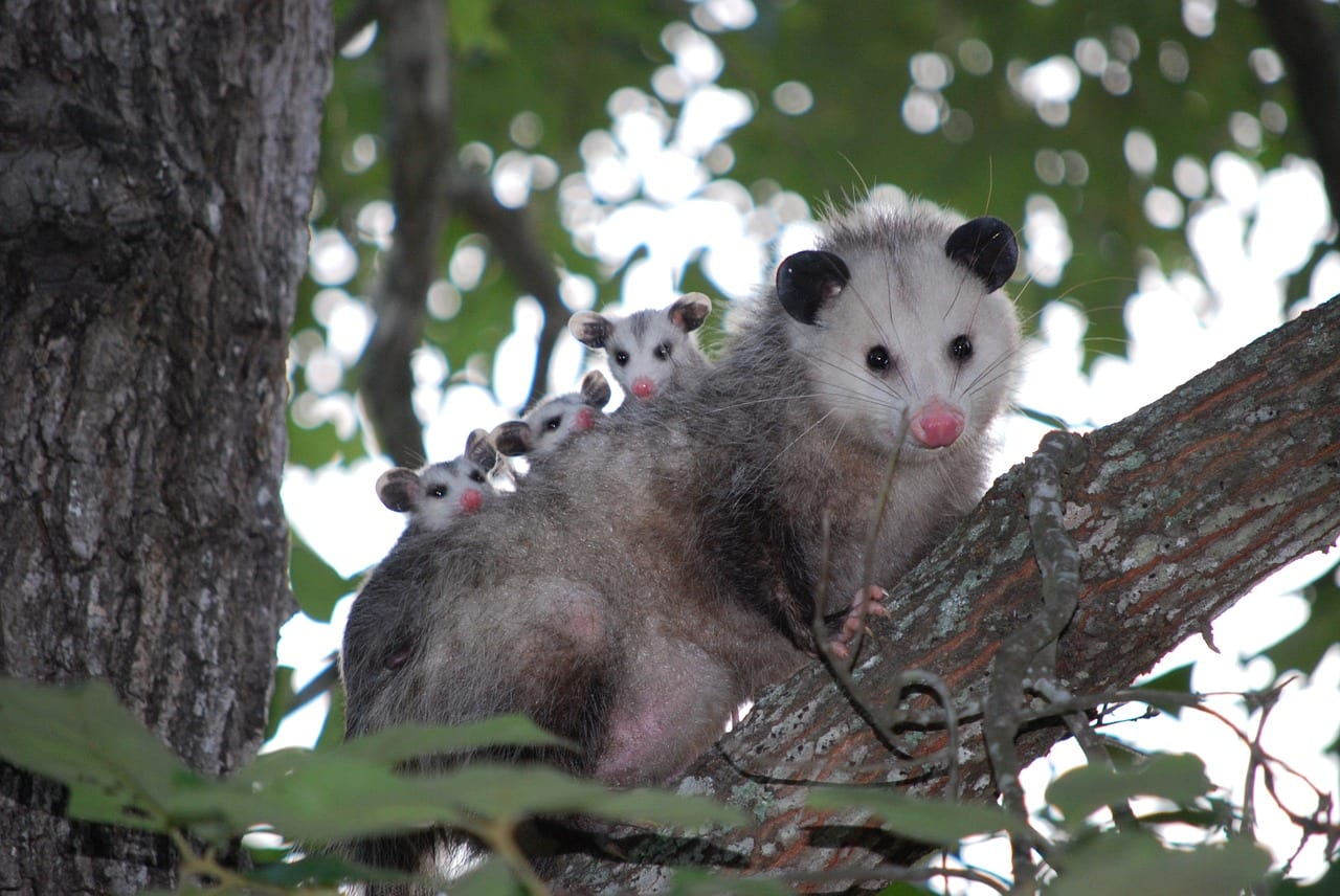 https://pixabay.com/en/possum-opossum-animal-young-wild-1802326/