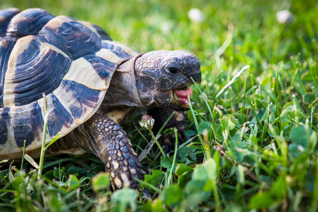 https://pixabay.com/en/turtle-greek-tortoise-reptile-3422222/