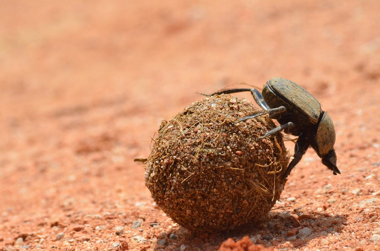 https://pixabay.com/en/wildlife-nature-little-dung-beetle-3168583/