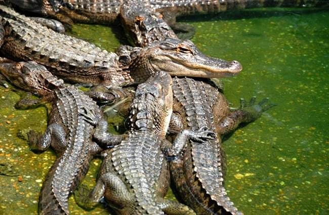 A congregation of American Alligators