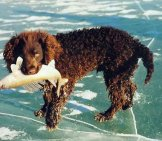 American Water Spaniel Retrieved A Fish Photo By: Norm And Mary Kangas Https://creativecommons.org/licenses/by/2.0/