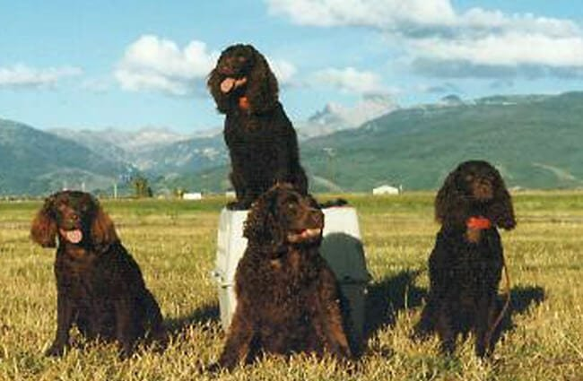 Portrait of champion American Water Spaniels Photo by: Norm and Mary Kangas https://creativecommons.org/licenses/by/2.0/