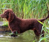 American Water Spaniel, Alert In The Waterphoto By: (C) Capturelight Www.fotosearch.com