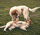 A Pair Of Anatolian Shepherd Dog Puppies Playing. Photo By: Steve Slater //creativecommons.org/licenses/by/2.0/