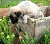 Anatolian Shepherd Puppy Photo By: (C) Safakoguz Www.fotosearch.com