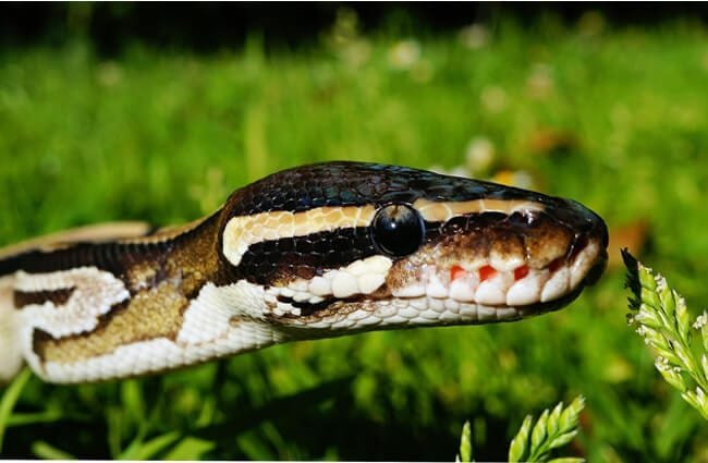 Closeup of a ball python (or royal python) in profile