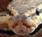 Extreme Closeup Of A Ball Python's Face
