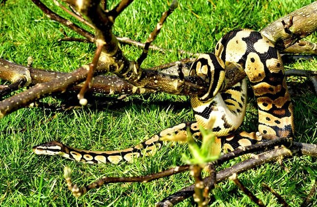 Large ball python in the wild
