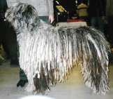 Beautiful Bergamasco Sheepdog In The Show Ring Photo By: Canarian Cc By-Sa 4.0 Https://Creativecommons.org/Licenses/By-Sa/4.0