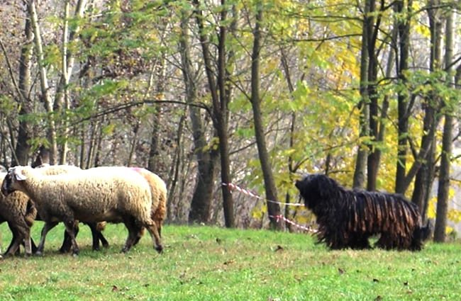 Black Bergamasco Sheepdog on duty with his sheep Photo by: Marchetti Maria Emilia CC BY-SA 4.0 https://creativecommons.org/licenses/by-sa/4.0