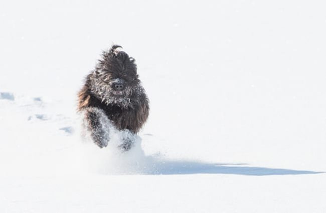 Bergamasco Sheepdog racing through the glorious snow! Photo by: (c) rosselladegradi www.fotosearch.com