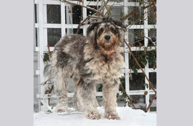 Young Bergamasco Sheepdog in the snow Photo by: Towncommon GFDL http://www.gnu.org/copyleft/fdl.html
