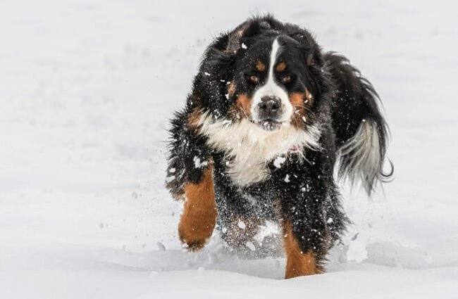 Bernese Mountain Dog playing in the snow