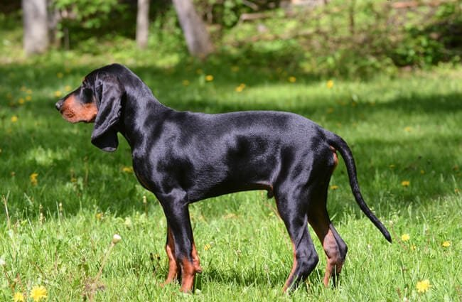 Black and Tan Coonhound Photo by: (c) Colecanstock www.fotosearch.com
