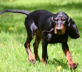 Black And Tan Coonhound Playing Fetch In The Yardphoto By: (C) Colecanstock Www.fotosearch.com