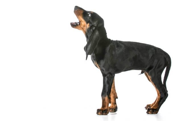 Black and Tan Coonhound baying Photo by: (c) Colecanstock www.fotosearch.com