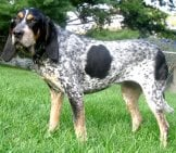 Portrait Of A Bluetick Coonhound