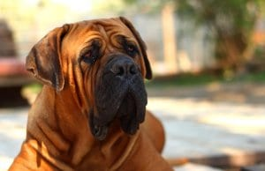 Portrait of a BoerBoel