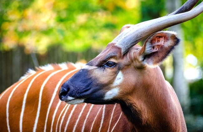 Closeup of an adult Bongo