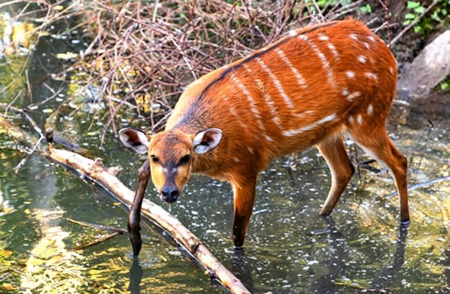 Female Bongo wading into the creek
