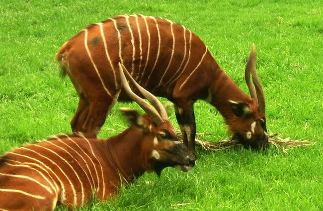 A pair of Bongos grazing and resting in the grassy meadow