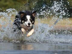 Border Collie racing through the water